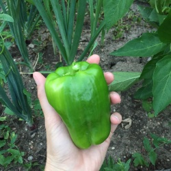 New Mama Wellness fresh picked green pepper from backyard garden