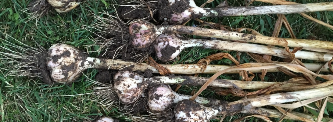 New mama wellness garlic harvest