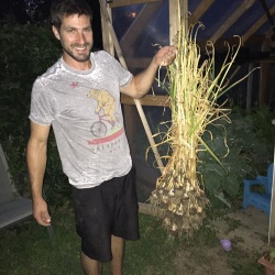 garlic harvest from backyard garden New Mama Wellness